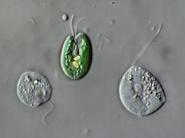 Limnic and other micro-organisms from Germany: Chroomonas ...
