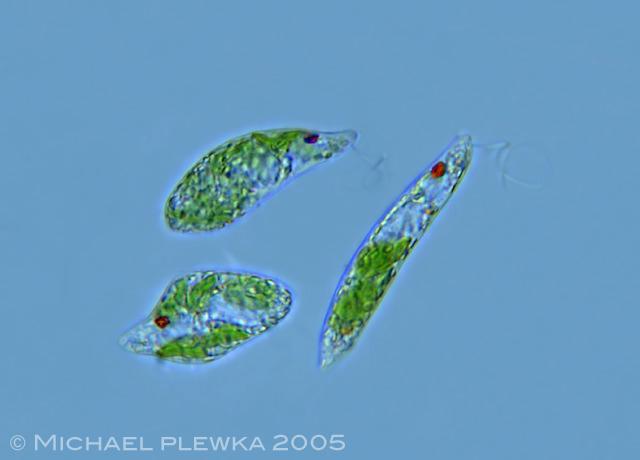 Leben in Teich und Garten: Wurmförmiger Augenflagellat ...