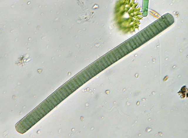 oscillatoria under microscope live specimen - 640×472