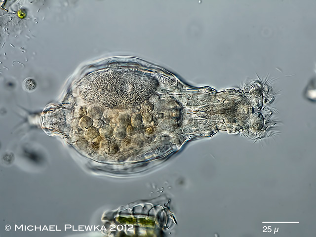 Rotifers of Germany and adjoining countries: Habrotrocha ...