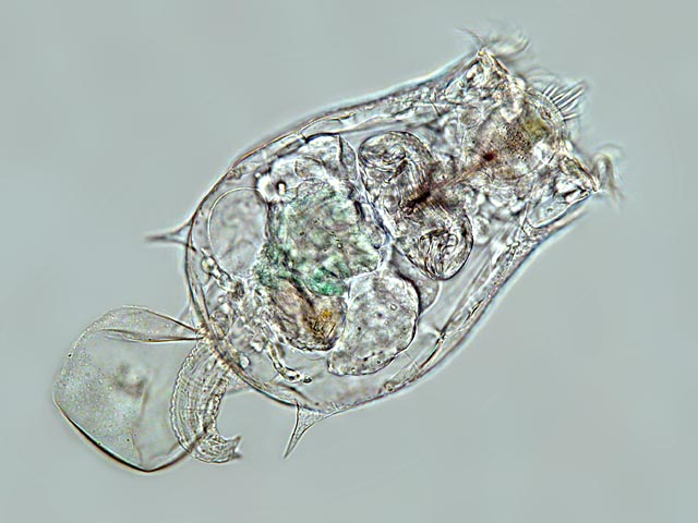 Rotifer Fauna of Germany and Neighbouring Countries ...