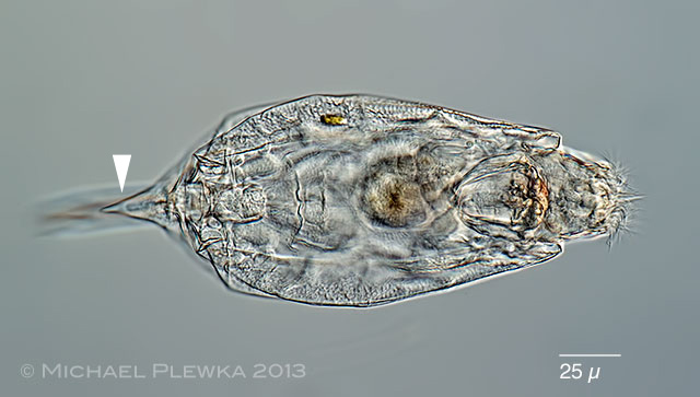 Rotifer Fauna of Germany and Adjoining Countries: Lecane ...